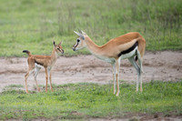 Thompson's Gazelle with baby