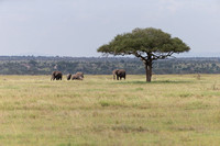Elephants by lone Acacia Tree in Serengeti grasslands