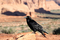 Raven in Arches National Park