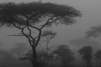 Foggy morning in the Acacia forest