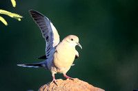 White-winged Dove wing stretch